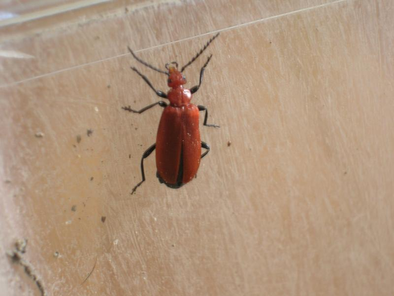 [Pyrochroa serraticornis] Le cardinal (coléoptères) Dscn1926-1--3d39737